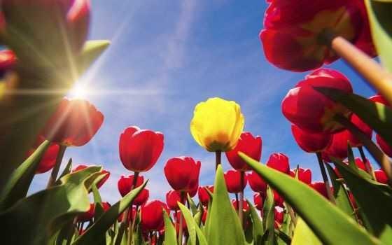 Lavoro nella raccolta di tulipani in Svezia