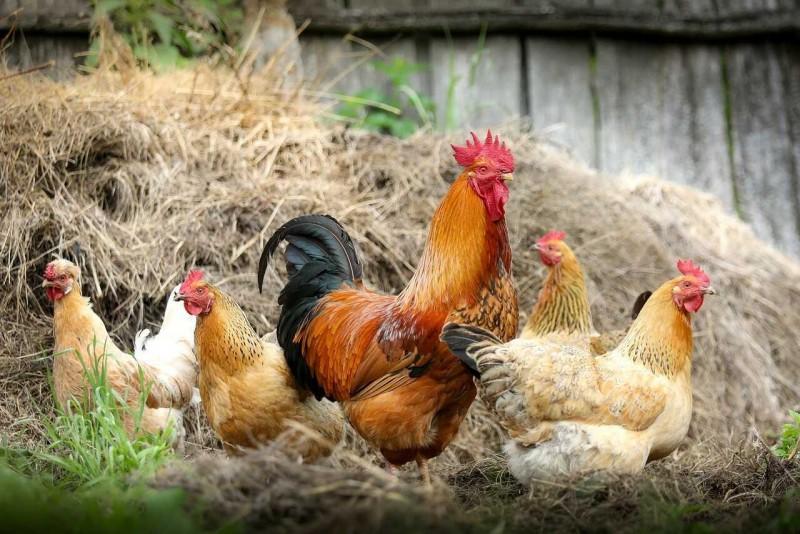 Lavoro allevamento di polli