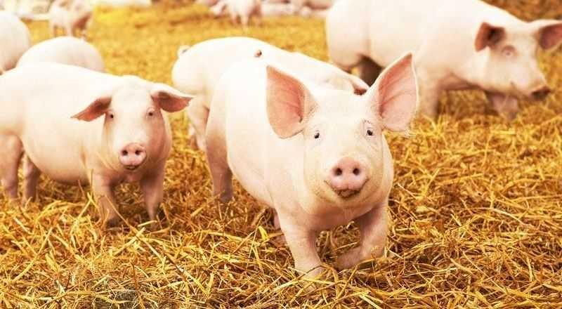 Lavoro Fattoria di maiali in Danimarca